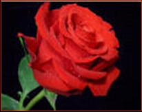 Quality is as difficult to define as love ... but just as easy to recognize. (Red Rose Photo).